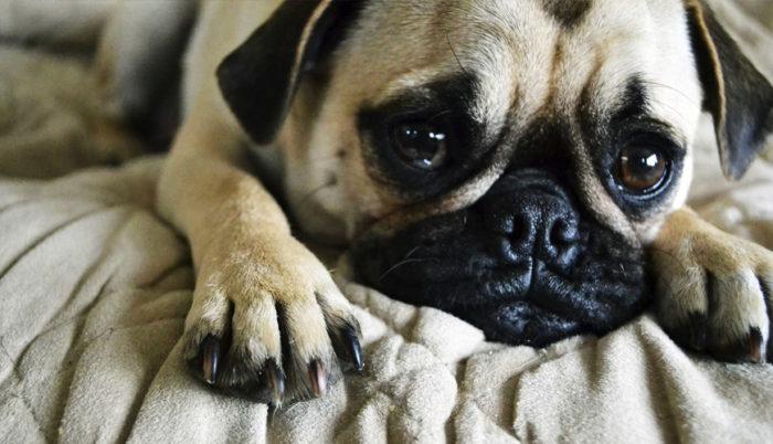 Los animales igual tienen sentimientos, por lo que la depresión puede hacerse presente en ellos. Conoce un poco acerca de este problema.