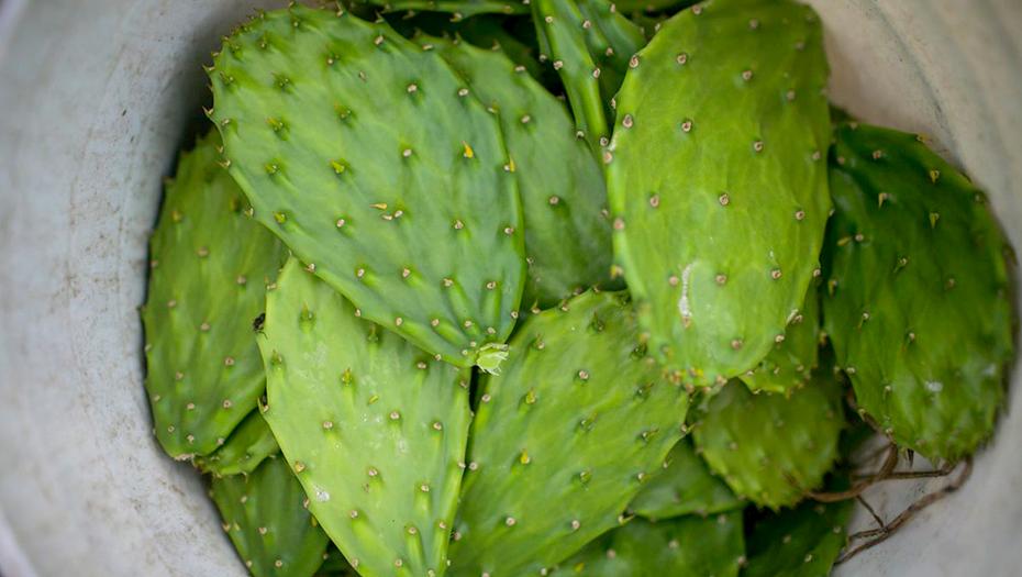<h1>Mexicanos crean piel de nopal para ayudar a reducir el impacto ambiental</h1>